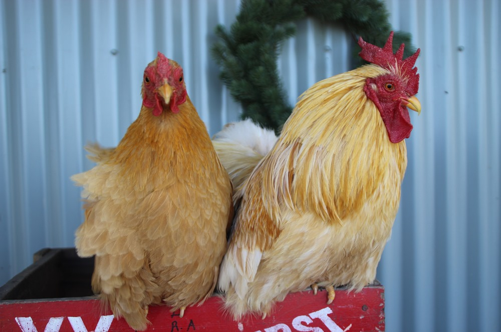 christmas chickens, but it's not what you think!
